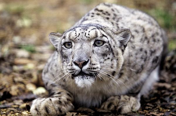 Snow Leopard Photo Gallery World Wildlife Fund