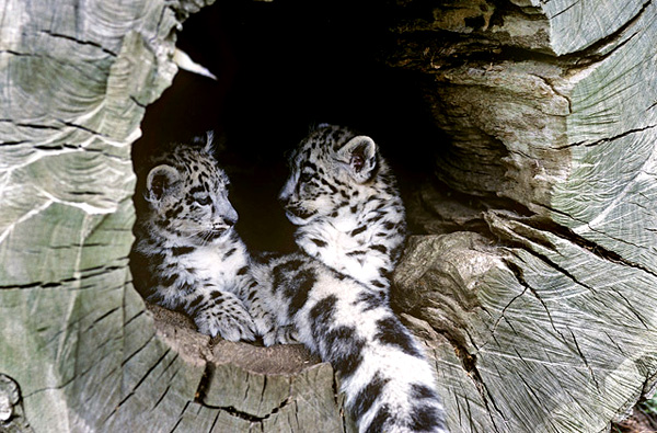 Snow Leopard Photo Gallery World Wildlife Fund